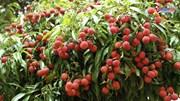 Dân Bắc Giang tiết lộ 'bí kíp' đưa trái vải Việt 'đi Tây'