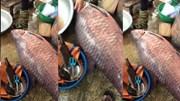 Bắt được cá trắm khủng 75kg ở hồ Thác Bà gây xôn xao