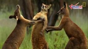 Với kangaroo, việc tìm kiếm bạn tình có thể là một cuộc chiến sinh tử