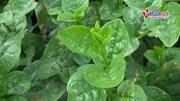'Vén màn bí mật'  công nghệ trồng rau mồng tơi thu vài chục triệu một tháng