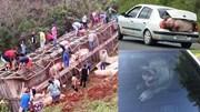 Xe tải chở 120 con lợn bị lật, người dân mang cả ô tô đi 'hôi của'