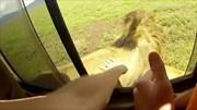 Vuốt lưng sư tử, du khách suýt bị cắn đứt tay