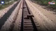Liều mình cứu con kẹt trên đường ray, gấu mẹ bị tàu hỏa cán chết