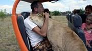 Sư tử cái nằng nặc đòi ôm hôn du khách và kêu như mèo