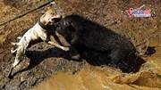 Chó pitbull tử chiến lợn rừng man rợ ở Indonesia