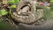 Hòn đảo của gần 20.000 con rắn lục cực độc