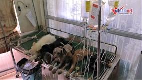 Thú cưng sốc nhiệt hàng loạt, bệnh viện chó mèo đông nghịt 'khách'