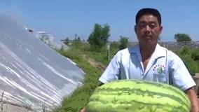 Bạn có thể không nặng bằng quả dưa hấu khổng lồ này