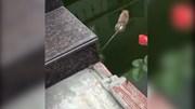 Bị chó truy sát, chuột nhảy xuống ao tự tử