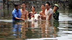 Lụt ở Chương Mỹ: 'Hộ tống' lợn chạy khỏi biển nước