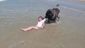 Sợ cô chủ nhỏ bị sóng đánh trôi, chú chó to lớn kéo bằng được lên bờ