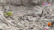 Xem chim nhỏ mổ tới tấp, moi sống ruột rắn
