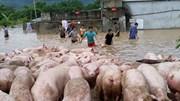 Đứng tim nhìn đàn lợn hơn ngàn con vật lộn trong nước lũ