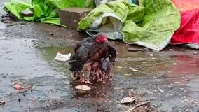 Khoảnh khắc cảm động: Gà mẹ dùng thân bảo vệ đàn gà con giữa trời mưa