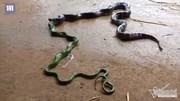 Cảnh rắn oằn mình nôn ra đồng loại sau khi nuốt vào bụng
