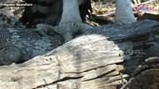 Đại bàng Martial 'làm thịt' thằn lằn đá khổng lồ