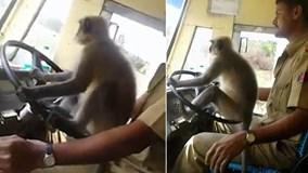 """Tài xế Ấn Độ để khỉ lái xe bus khiến hành khách """"sốc"""""""