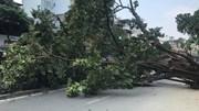 Hà Nội: Cây đa 40 năm tuổi trước đền cổ đổ gục, chắn ngang đường