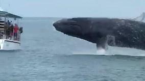 Cá voi lưng gù khổng lồ bỗng nhảy khỏi mặt nước ngay trước mặt du khách