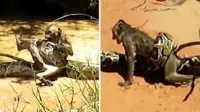 Hai bé trai hiệp lực giải cứu khỉ con khỏi trăn khổng lồ