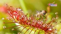 Xem loài cây ăn thịt nuốt chửng con mồi trong nháy mắt