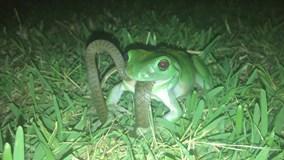Rắn thoát chết ngoạn mục khi bị ếch cây nuốt chửng vào bụng
