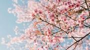 Vì sao 'bão quái vật' lại khiến hoa anh đào ở Nhật Bản nở sớm hẳn 6 tháng ?