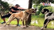 9x Việt kể chuyện nuôi chó dữ khổng lồ 107kg, giá hơn trăm triệu đồng