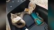 Phát hiện 3 con rắn hổ mang cực độc và hung dữ trong cốp xe máy
