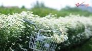 Cúc hoạ mi chớm nở, chủ vườn ở Thủ đô 'hốt' bạc triệu mỗi ngày