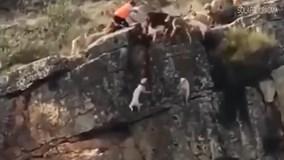Mải mê săn mồi, đàn chó săn rơi hàng loạt xuống vách đá