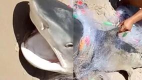 Cá mập lớn và dữ mắc lưới ngư dân gây xôn xao