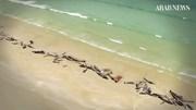 Hàng trăm con cá voi chết trắng bờ biển New Zealand