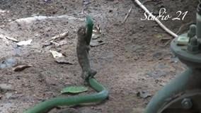 Tắc kè ngậm chặt đầu rắn xanh không chịu buông tha