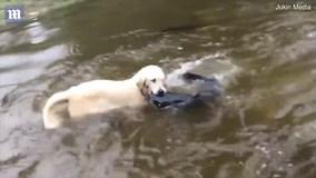 Chú chó trổ tài bắt cá trê khủng ở dưới nước siêu đẳng