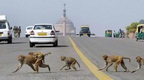 New Dehli đau đầu đối phó với 'sự xâm lược' của binh đoàn khỉ