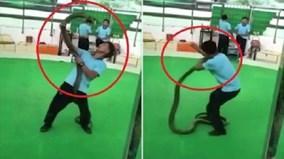 Biểu diễn cùng rắn hổ mang, người đàn ông bị cắn ngất lịm