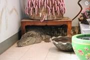 Người đàn ông nuôi cá sấu trong nhà như thú cưng suốt 20 năm