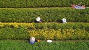 Những cánh đồng cúc chi vàng ruộm, giá cả trăm triệu đồng