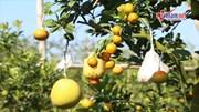 Khách Sài Gòn mê mẩn vườn cây ghép 11 loại qủa của lão nông Hà Thành