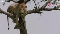 Tình cảnh 'tiến thoái lưỡng nan' của sư tử đực bị mắc kẹt trên cây