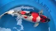 Bí quyết lai tạo ra chú cá Koi có giá 1,8 triệu USD