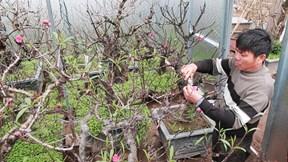 Chủ vườn Nhật Tân xây phòng 'giữ nhiệt' cho vườn đào Thất Thốn tiền tỉ