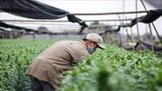Rét đậm rét hại, nông dân Tây Tựu lại phấn khởi vì trúng vụ hoa Tết