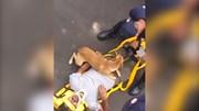 Chú chó lo lắng, bảo vệ chủ tới cùng khi chủ gặp nạn