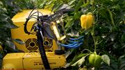 Robot công nghệ cao hái ớt chuông trong 24 giây