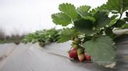 Khám phá vườn dâu tây chín đỏ ở bãi sông Hà Nội