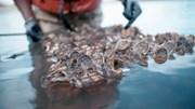 Những con hàu đã bảo vệ cảng New York như thế nào?