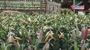 Nông dân Tây Tựu 'khóc ròng' vì hoa ly nở rộ