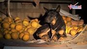 Biệt đội chó chống 'bưởi tặc' ở làng Diễn